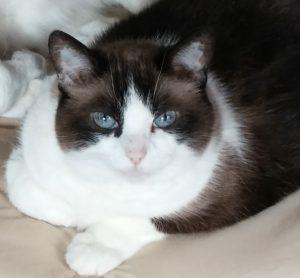 Chloe-Tuxedo-Cat