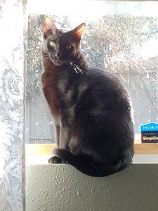Oliver-Black-Cat