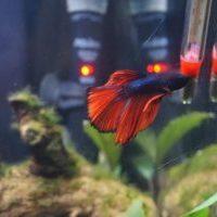 Beta Fish in Tank - Agni - Cultural Ambassador